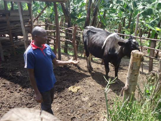 Mugisa attending to his diary cow, he acquired with KRC support. Mugisa is full of praises for KRC for the enormous support extended to him and other members of his Bamugisa Middle-level farmers